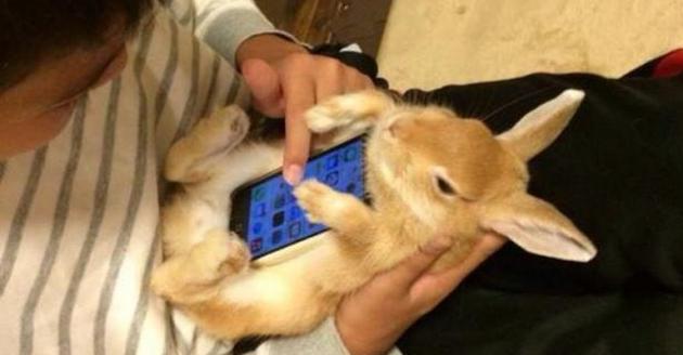Per i giapponesi i conigli vivi sono ottimi case per smartphone (ma anche un gatto va benone)
